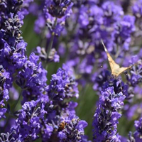 The perfumes and flavors of Calabria tour with a sightseeing of The Park of Lavender.